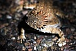Regal Horned Lizard.jpg
