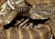 Tiger Rattlesnake 2.jpg