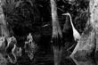 White Heron in Big Cypress.jpg