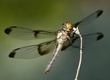 Widow Skimmer dragonfly.jpg