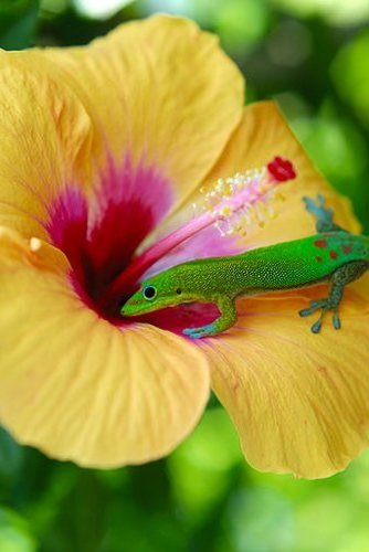 18 Hibiscus Gecko.jpg
