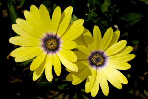 daisies_0010z.jpg