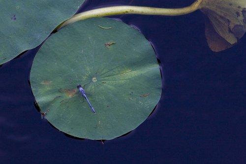 dragonfly_0101z.jpg