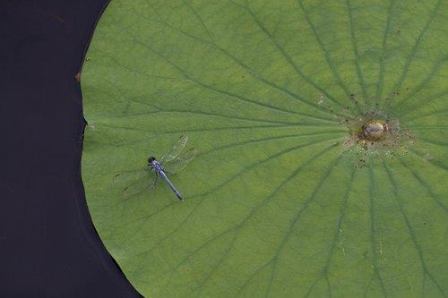 dragonfly_pad_0062z.jpg