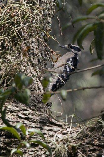 hairy_woodpecker_1122-4x6.jpg