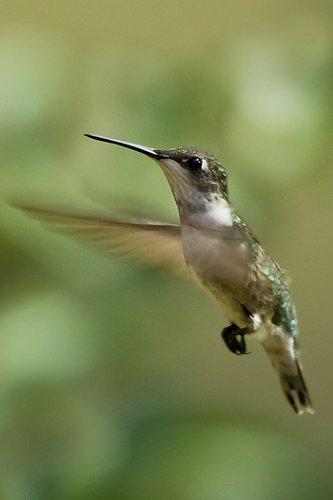 hummingird_7381-4x6.jpg