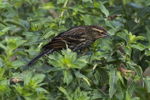 red-winged-blackbird_4755-64.jpg