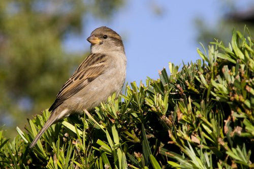 sparrow_0705z.jpg