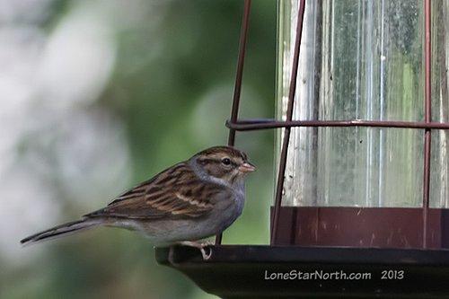 sparrow_chipping_2826wM.jpg