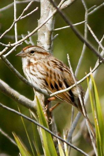 sparrow_savannah_0351-4x61.jpg