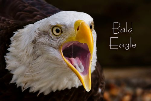 Eagle_mouth_9601-64txt.jpg