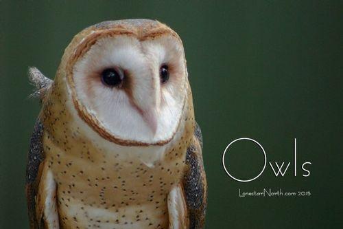 barn-owl_2321-64txt.jpg