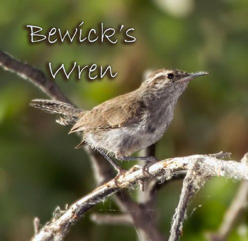 bewicks-wren_5986txt-64.jpg