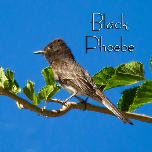 black-phoebe_5308-44txt.jpg