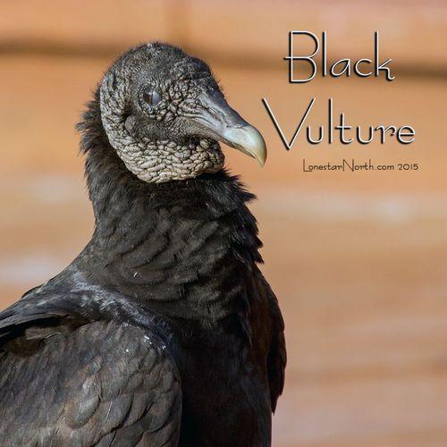 black-vulture_1267-44txt.jpg