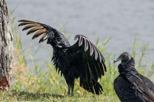 black-vulture_1468-64.jpg