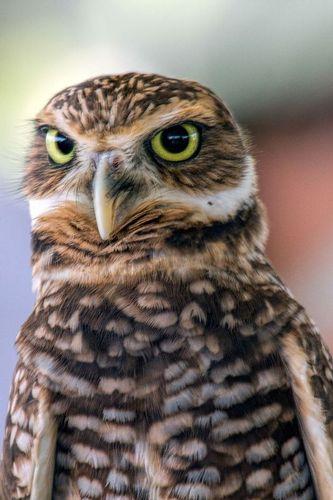 burrowing-owl_2780-46.jpg