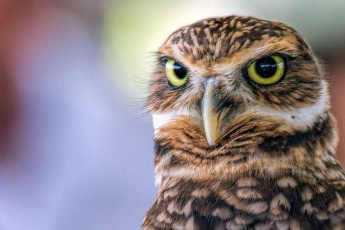 burrowing-owl_2780-641.jpg