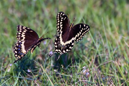 butterfly-chase_2477-64.jpg