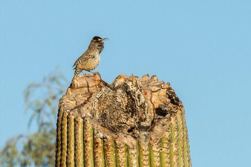 cactus-wren-saguaro_3829a-64.jpg