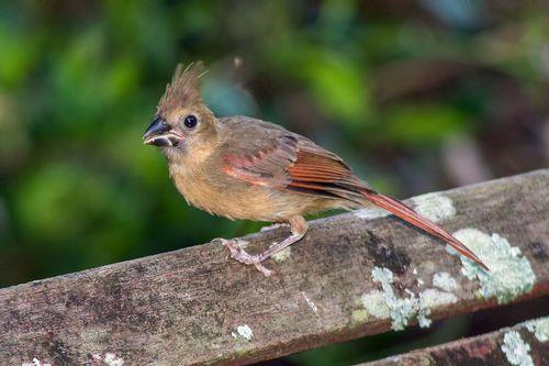 cardinal-juvenile_1150-64.jpg