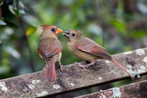 cardinal-kiss_1151-64.jpg