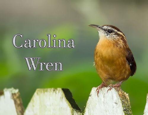 carolina-wren_7338tz-txt-64.jpg
