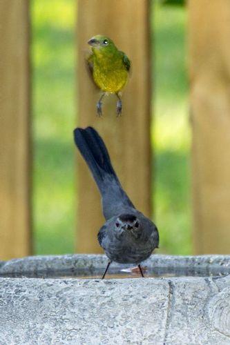 catbird-bunting_0185a-46.jpg