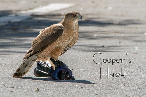 coopers-hawk_0976-64txt.jpg
