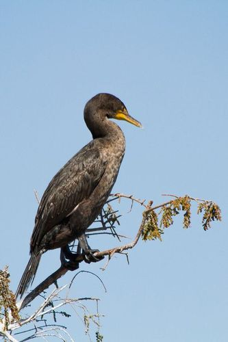cormorant_1003-46.jpg