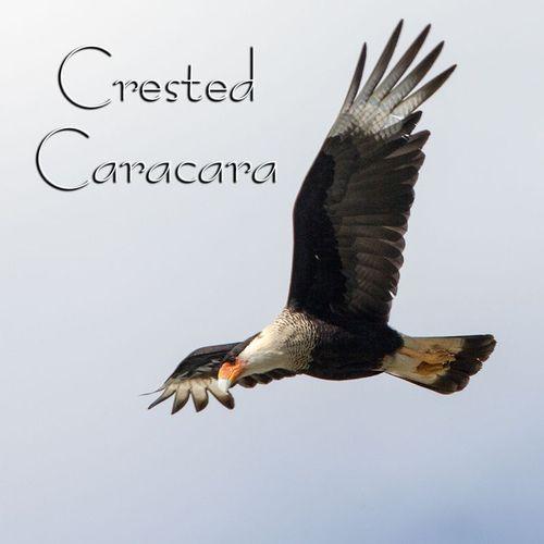 crested-caracara_9171-44txt.jpg