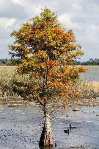 cypress-tree_9266-46.jpg