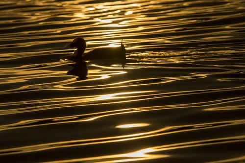 duck-sunset-waves_3291-64.jpg