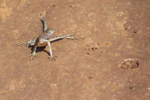 earless-lizard_9404-64.jpg