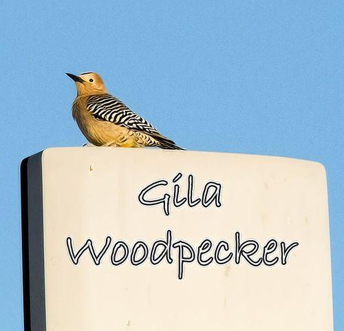 gila-woodpecker_3189TXTZ.jpg