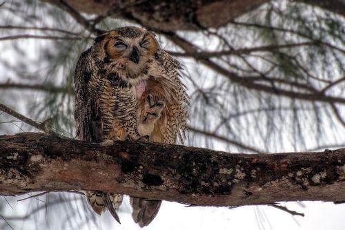 great-horned-owl_1873tpz-64.jpg