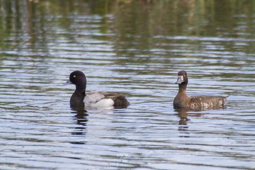 greater-scaup_1706-64.jpg