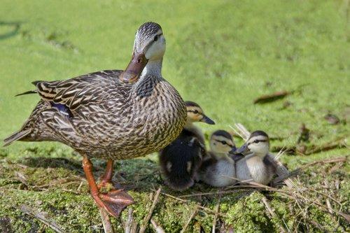 mottled-duck-chicks_3161-64.jpg