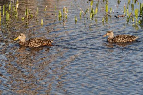 mottled-duck_0619-64.jpg