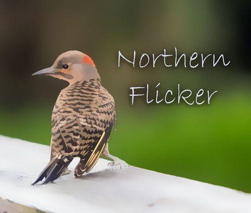 northern_flickerTZ-TXT_1196-64.jpg