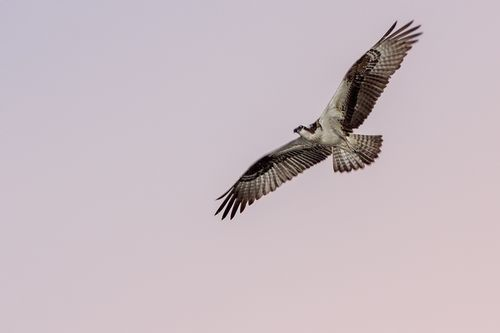 osprey_1976-64.jpg