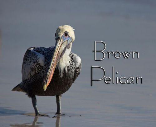 pelican_beach_7675-44txt.jpg