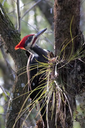pileated-woodpecker_1456-461.jpg