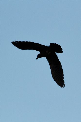 raven_5226-46.jpg