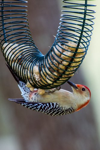 red-bellied-woodpecker_0567-64.jpg