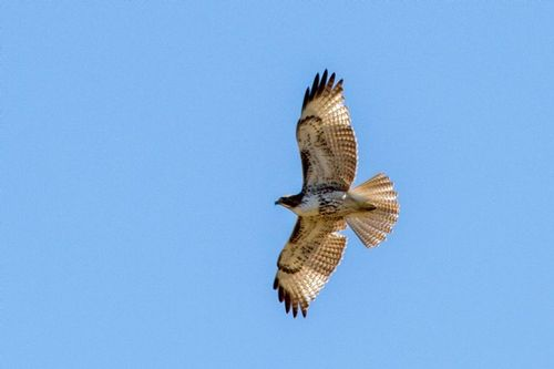red-tailed-hawk_2572-641.jpg