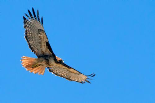 red-tailed-hawk_4938-64.jpg