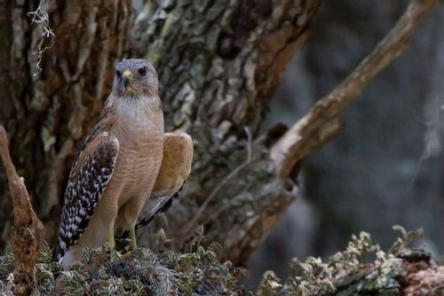 red_shouldered_hawk_1658-6x41.jpg