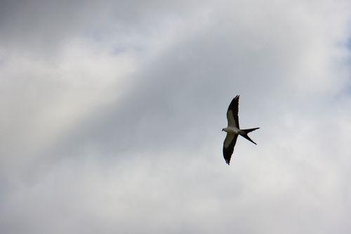 swallow-tailed-kite_1034-4x6.jpg