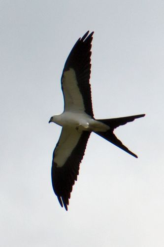 swallow-tailed-kite_1034a-4x6.jpg
